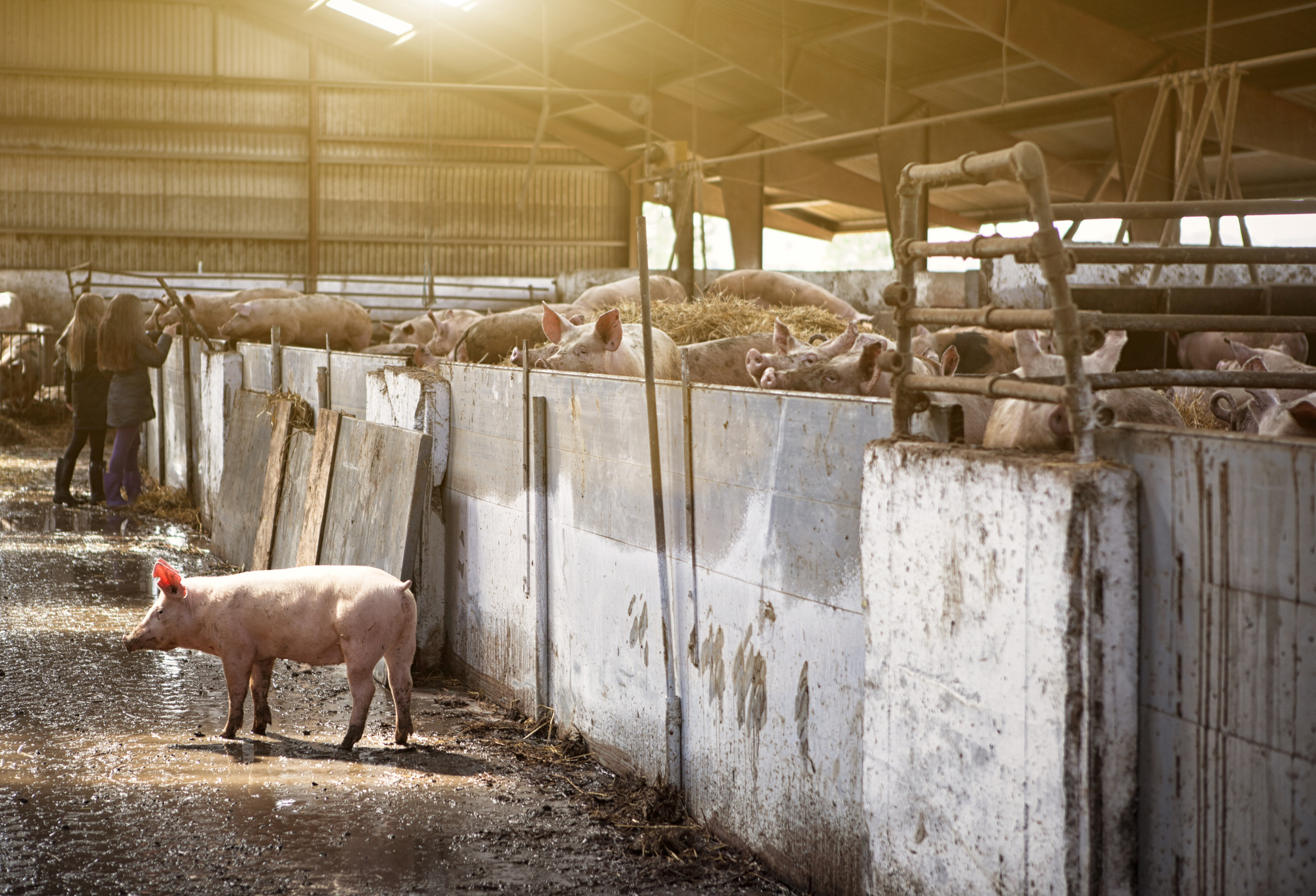 The Five Types of Pig Farms