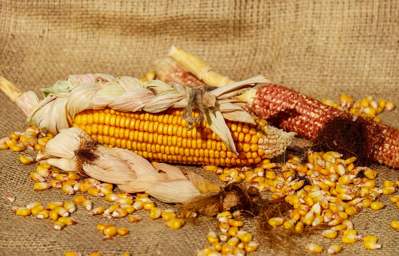 Corn Crop Farms – A Source of Food And Fuel