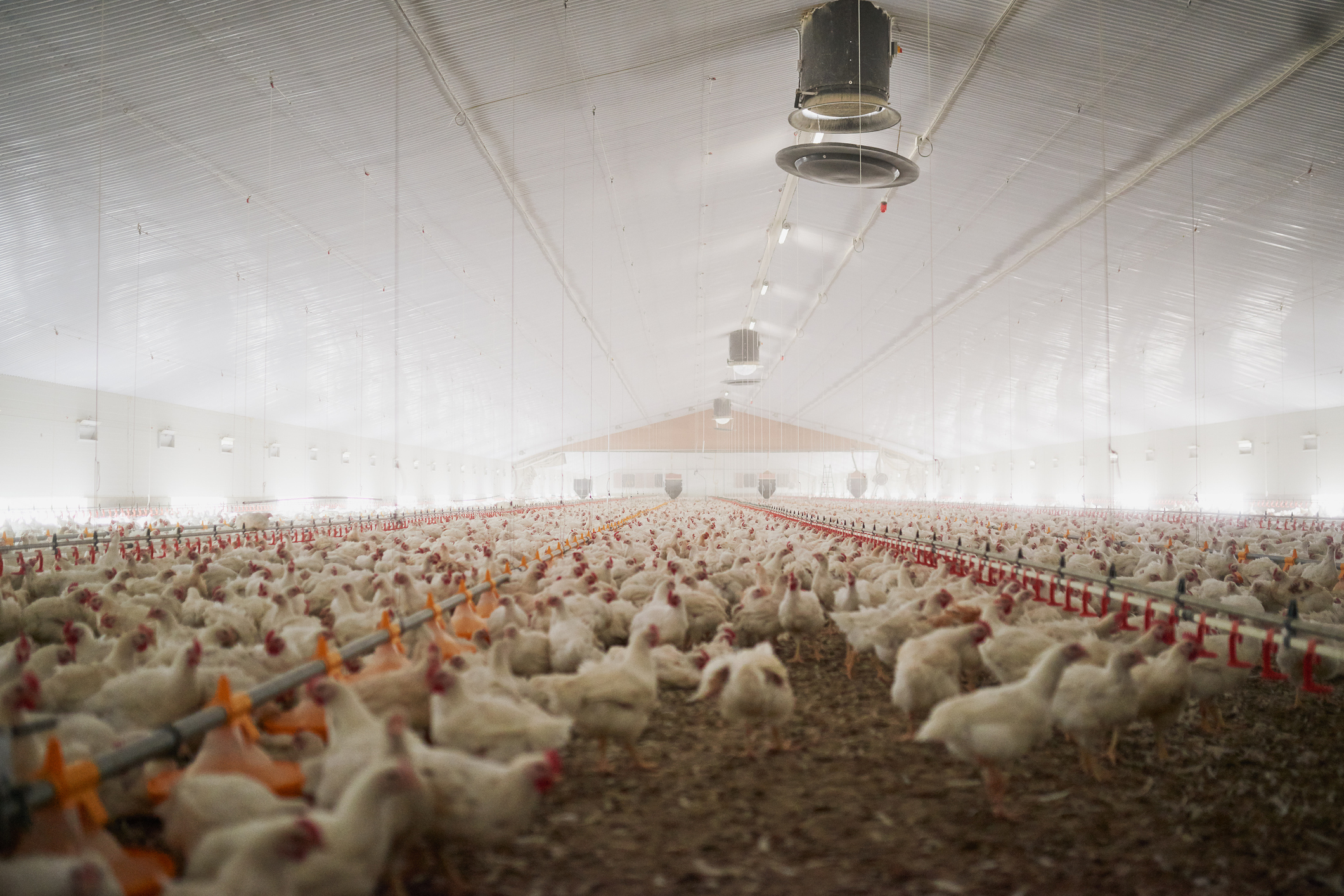 The Short Evolution of Chicken Farms